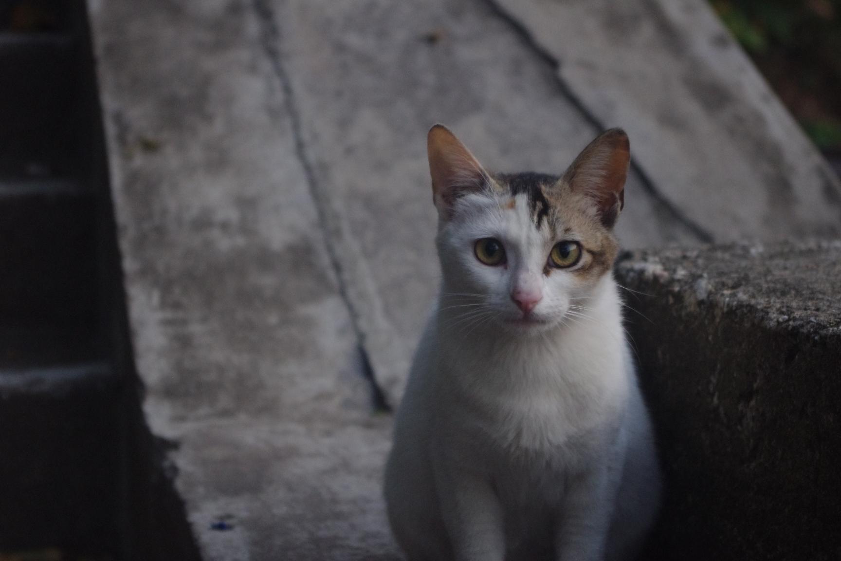 マカオの猫