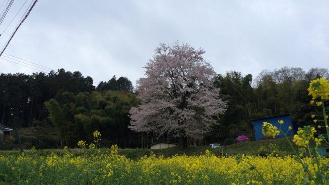 梅の公園・竹林寺近くの桜