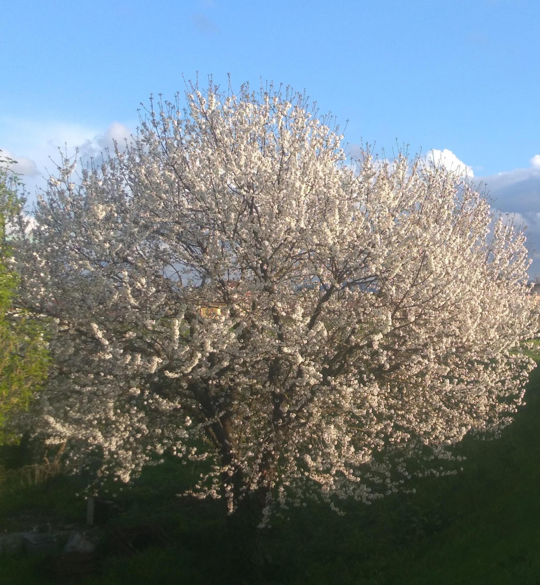 フィレンツェの春:3月・4月・5月の天気と気候(フィレンツェの桜)